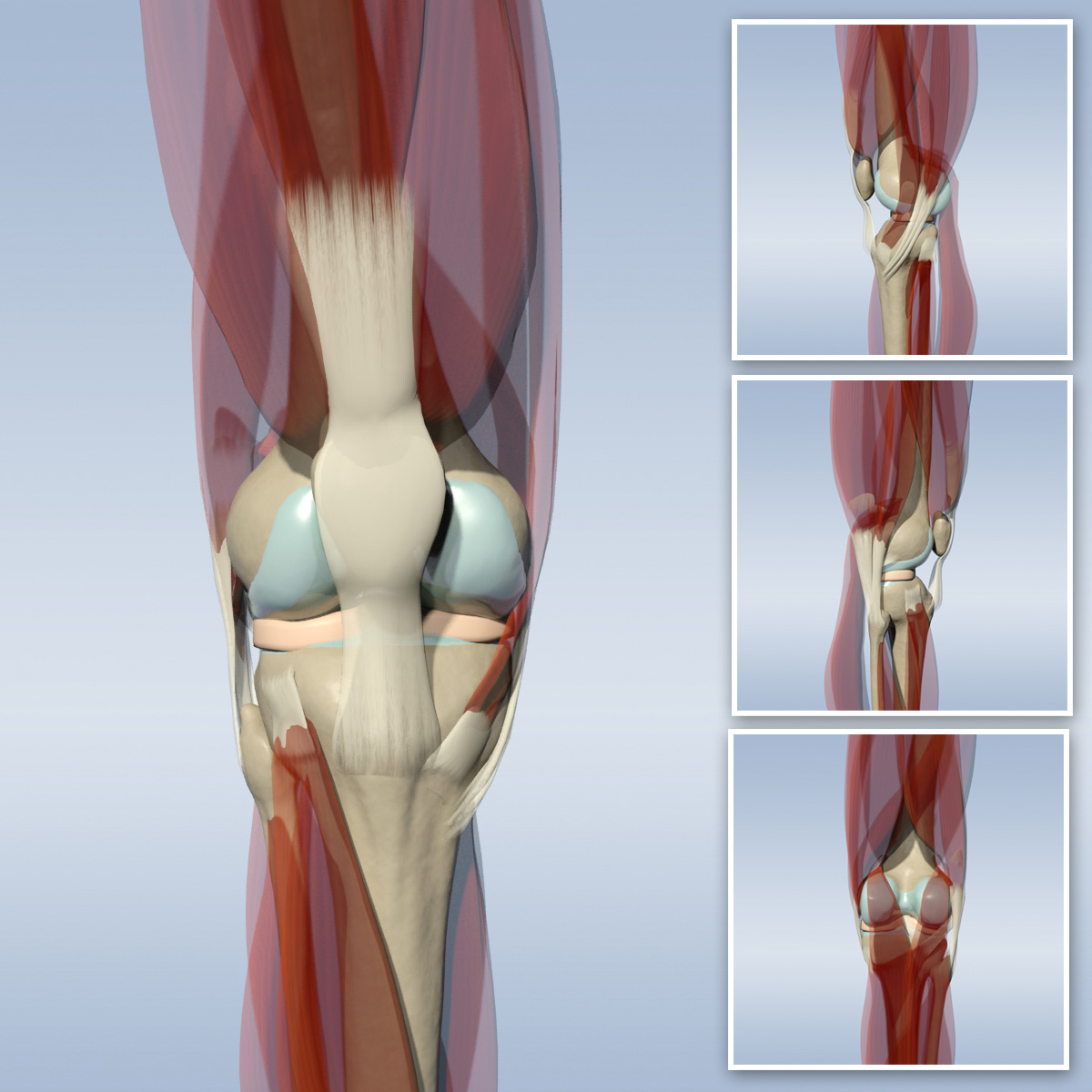 Knee anatomy 3d
